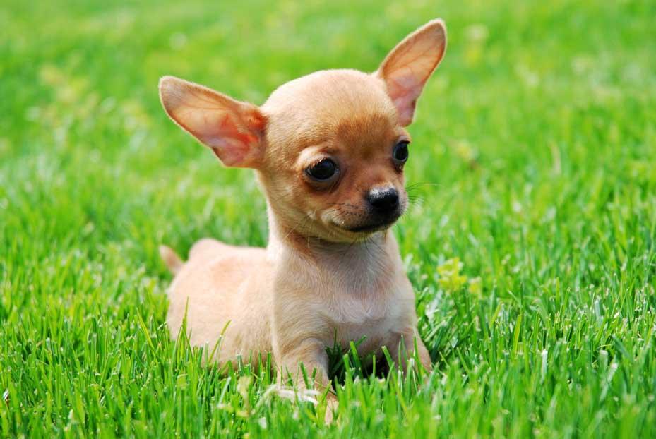Chihuahua time (hora del chihuahua)