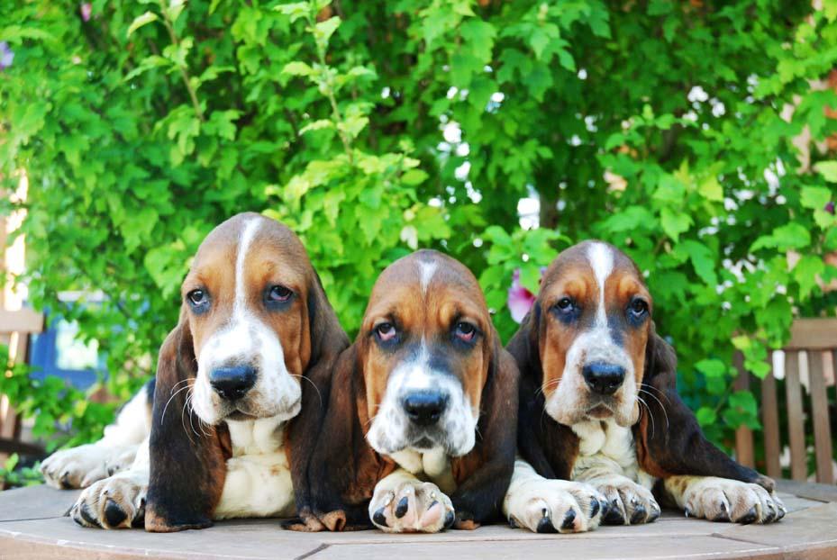 Comprar cachorro Basset Hound