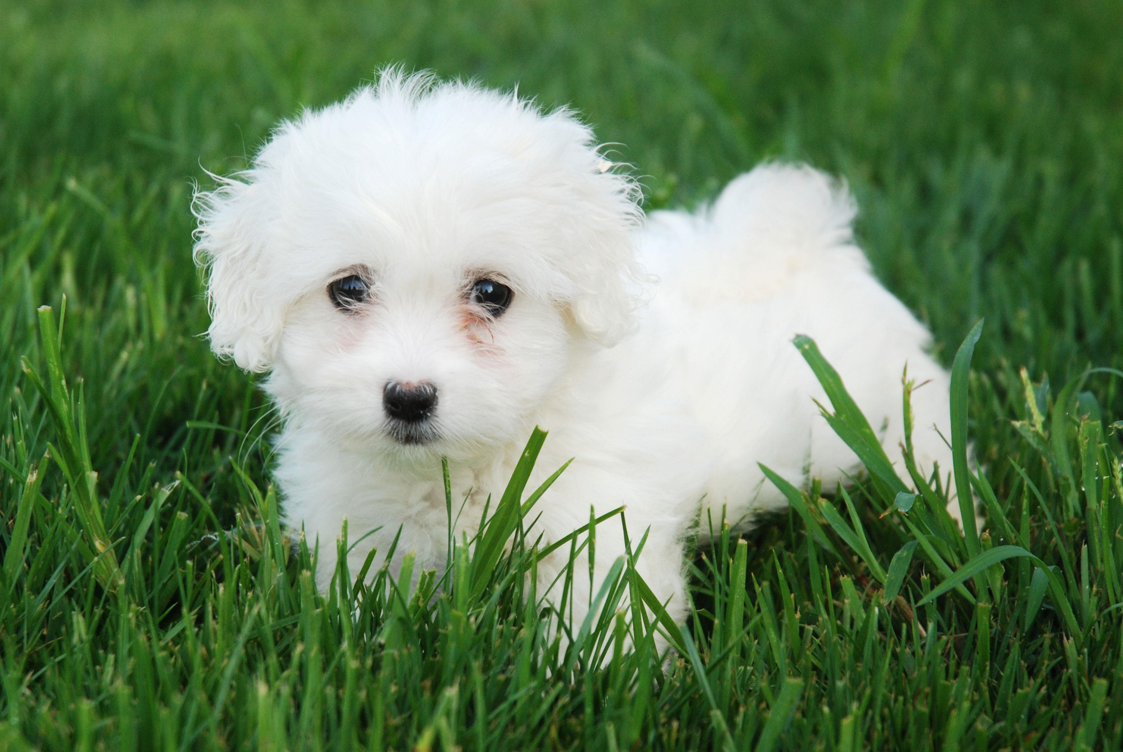 gogo puppy