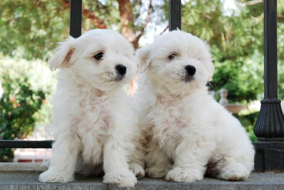 Comprar Cachorro Bichon Maltes