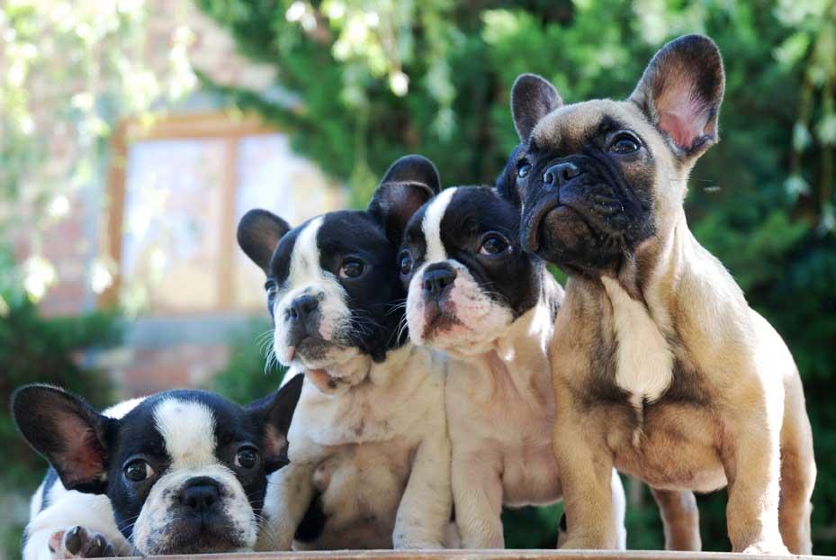 Comprar Bulldog Frances