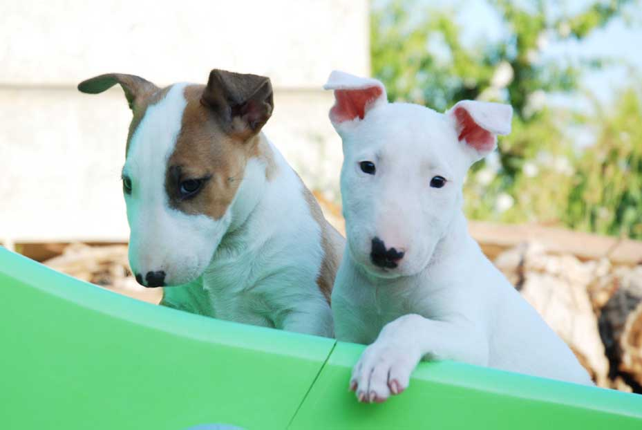 Comprar Cachorro Bull Terrier