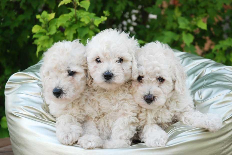 Comprar Cachorro Caniche