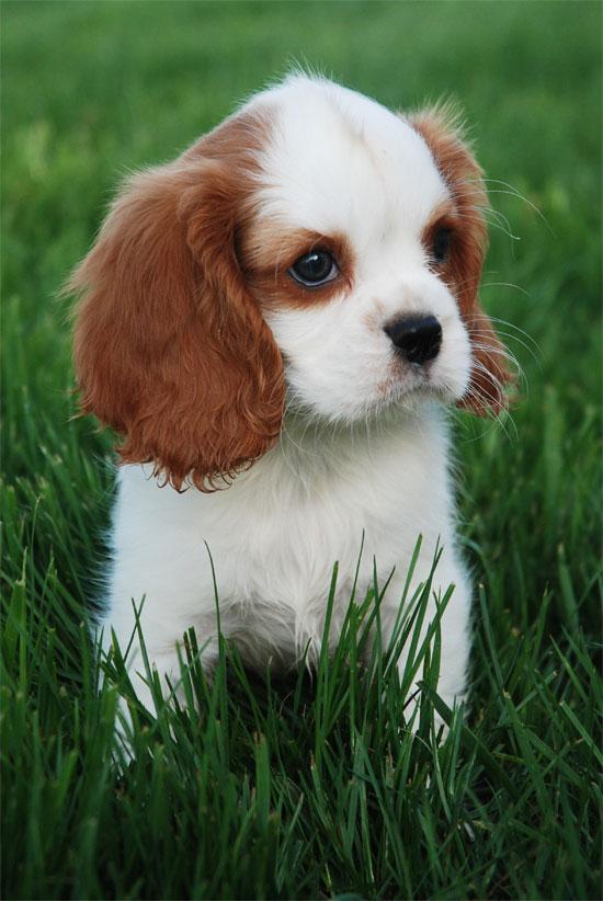 Venta de perros de raza pequeña - Imagui
