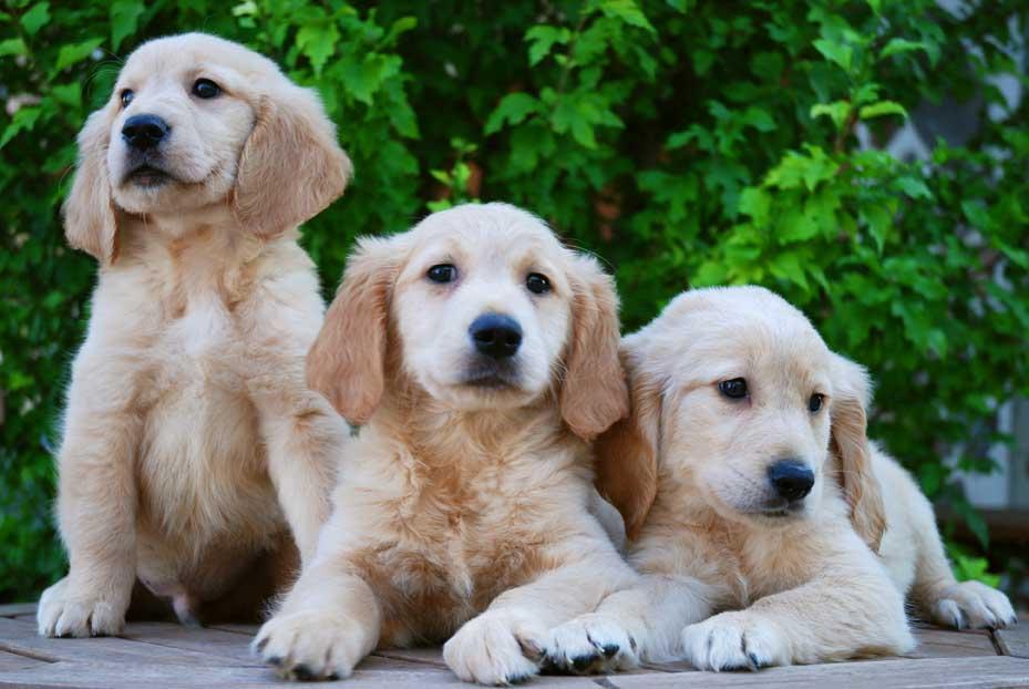 Comprar Cachorro Golden