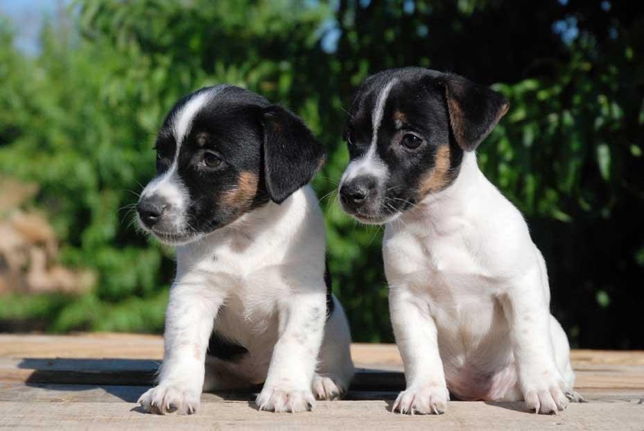 Comprar Cachorro Jack Rassell