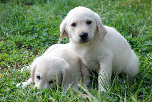 Comprar Cachorro labrador