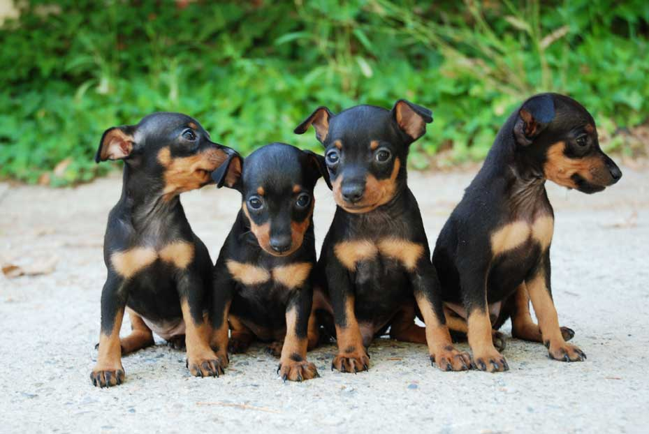 Comprar Cachorros Mini Picher