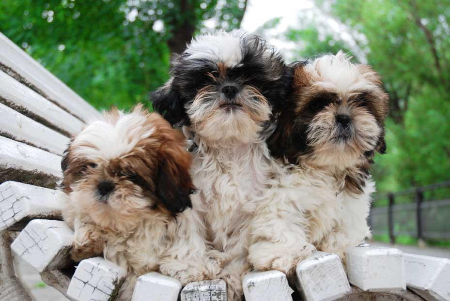 Comprar Cachorro Shih-tzu