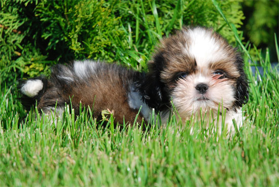 http://cms.softindustries.com/multimedia/12/200808/Shih_tzu_2_1