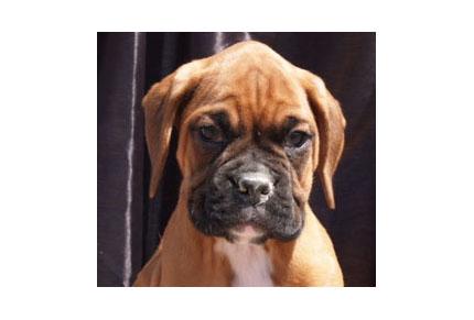 Comprar cachorro boxer