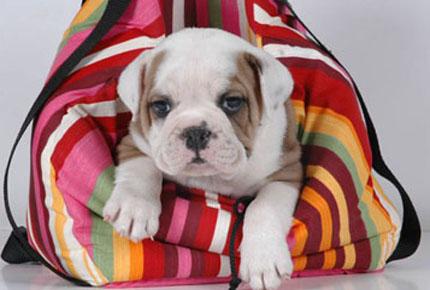 Comprar Cachorro Bulldog Ingles