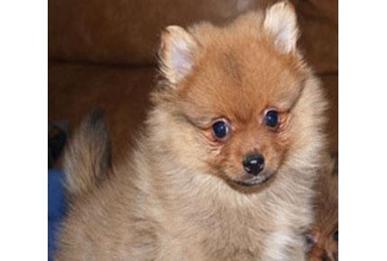 Comprar Cachorro Pomerania