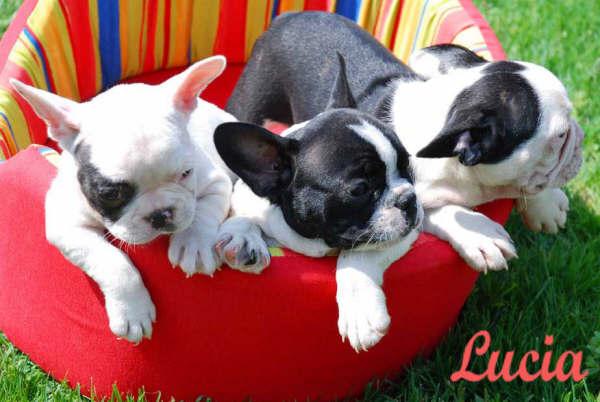 Bulldog frances perros venta mascotas - Bulldog frances gratis madrid ...