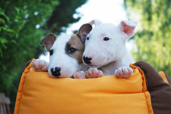 fotos de venta de cachorros bull terrier bulldog pincher fox terrier